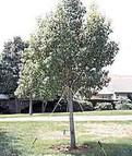 Tree Guying