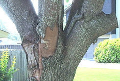 Lewisville Tree Diseasees and Pests