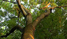 Hackberry Tree Care