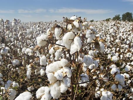 Incrementan las importaciones colombianas de algodón en el primer bimestre de 2021