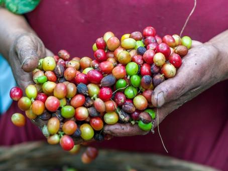 Exportaciones colombianas de café caen 2% en el primer semestre de 2020