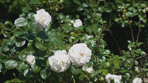 Roses 2.