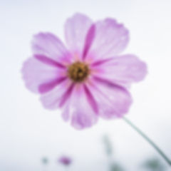 cosmos-flower-1712177_1920_edited.jpg