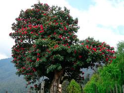 Rhododendron-Baum