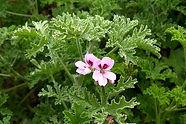 Pelargonium.jpg