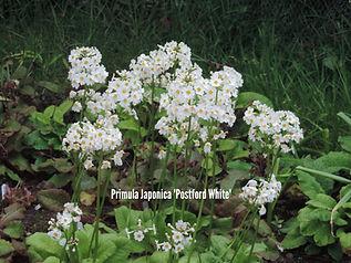 Primula japonica Postford White.JPG