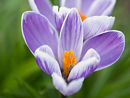 Crocus Lilac Beauty (1).jpg