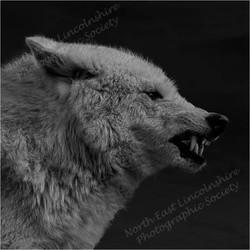 13 Hudson Bay Wolf.jpg