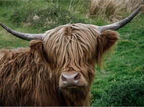 11 Hairy Highlander.jpg