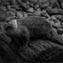 02 Asian Short Clawed Otter.jpg