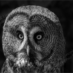 08 Great Grey Owl.jpg