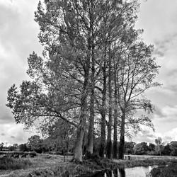 15 Tall Trees.jpg