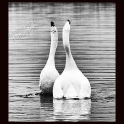 14 Swansong.jpg