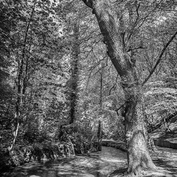 09 Tall trees in the greenwood.jpg