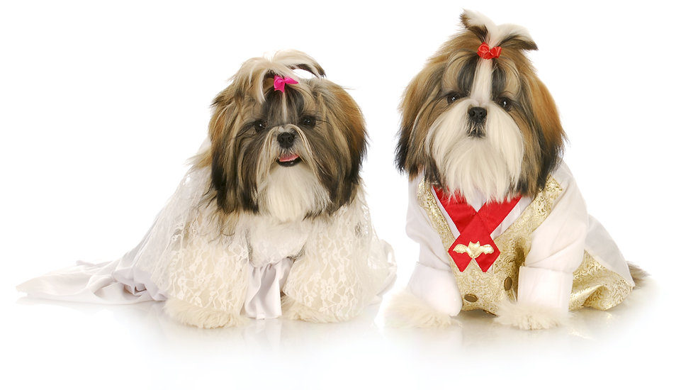 cute shih tzu puppies dress up as bride