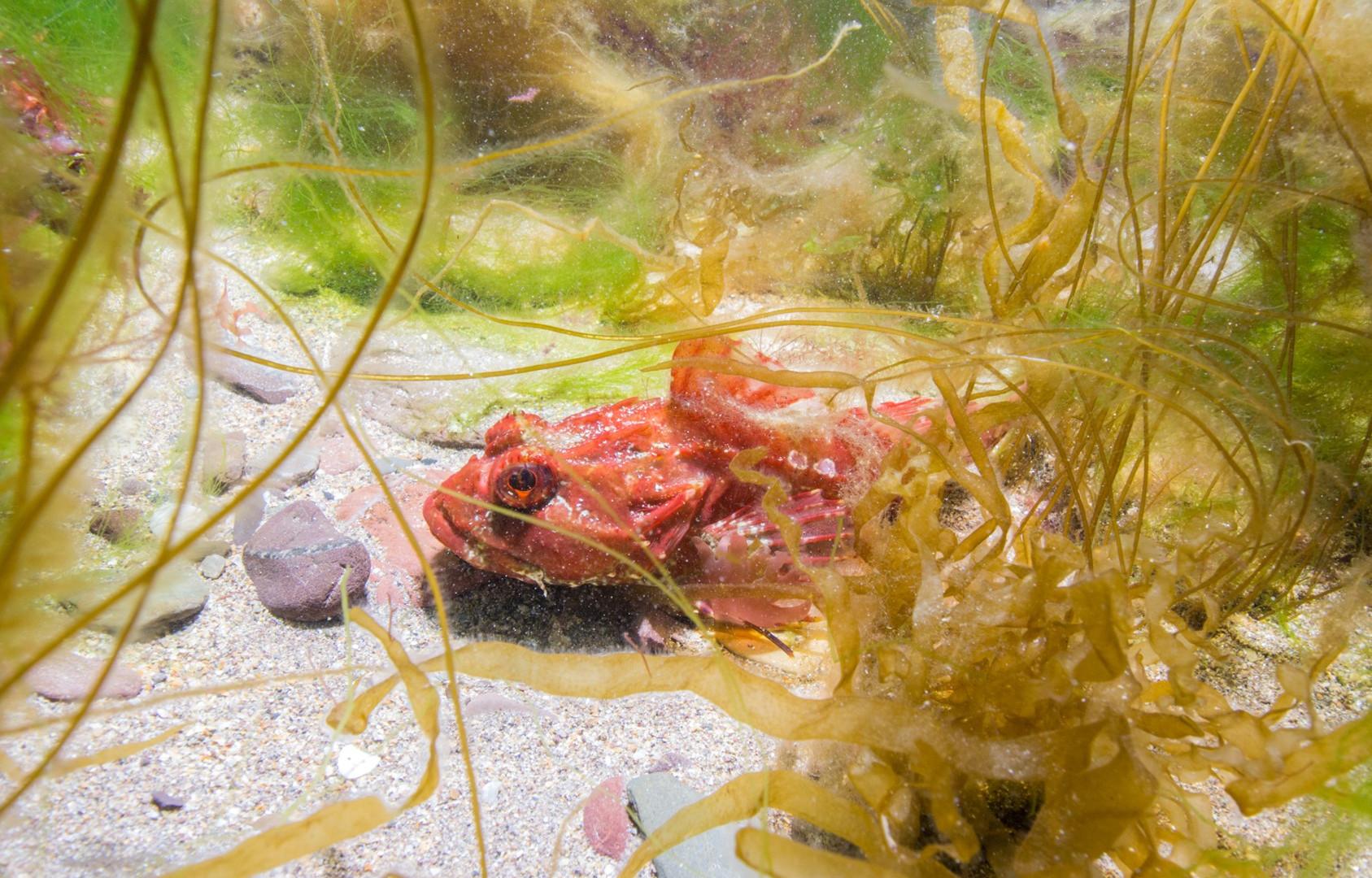 Sea Scorpion Fish - Paul Kay.jpg