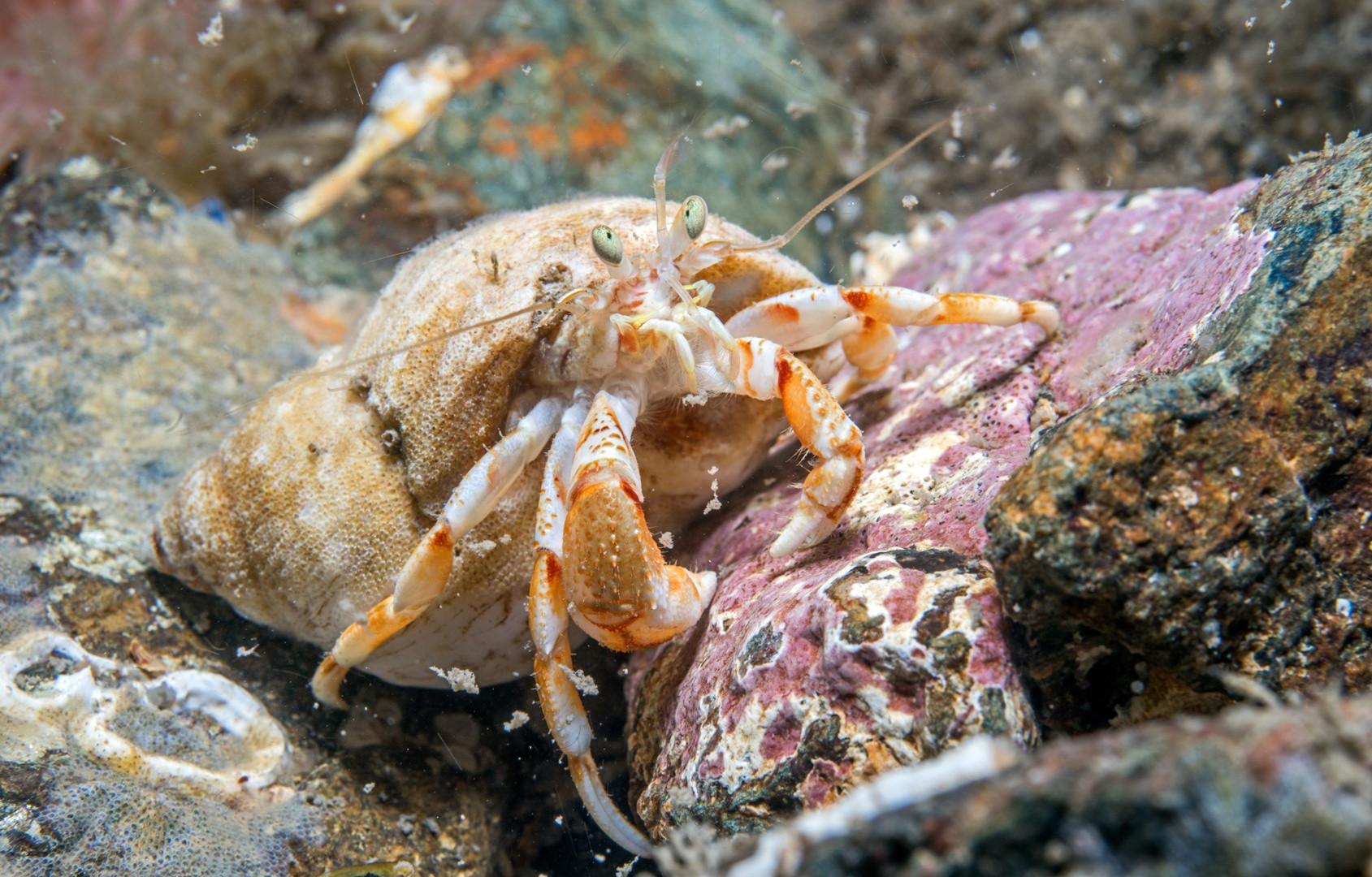 Hermit Crab - Paul kay.jpg