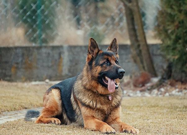 dog training.jpeg - pETFRIENDLYYELLOWPAGES.COM - dog training - german sheppard