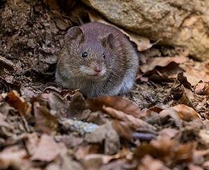 mice - pest control.jpg