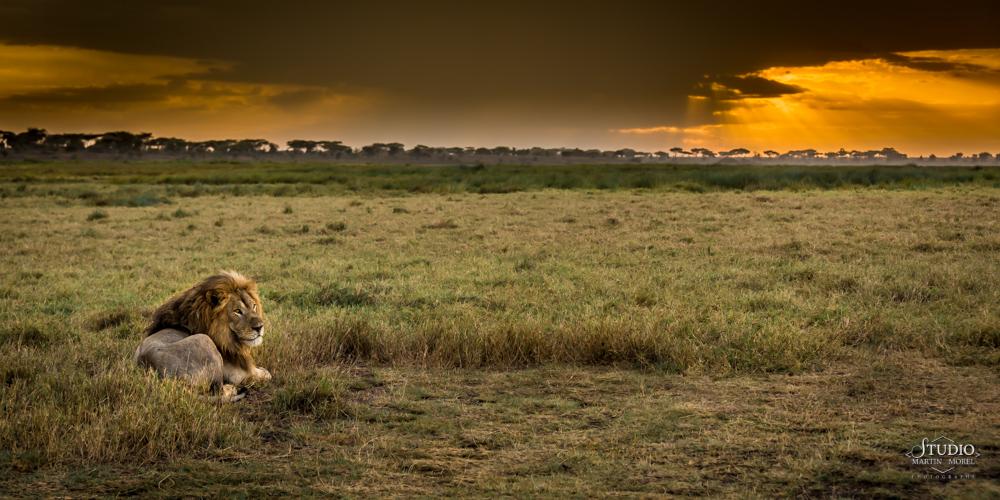 serenite-roi-lion