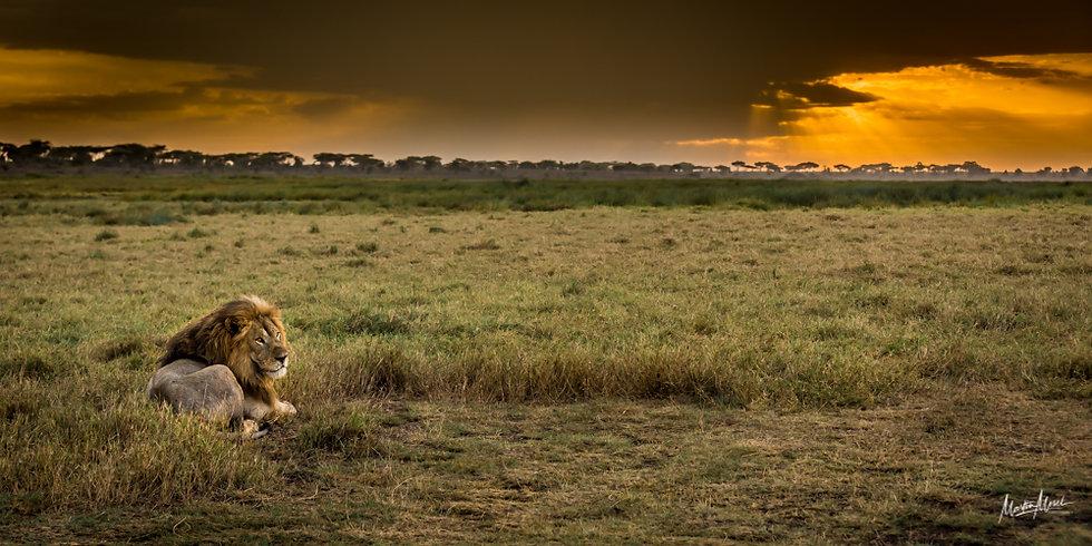 Sérénité du Roi Lion