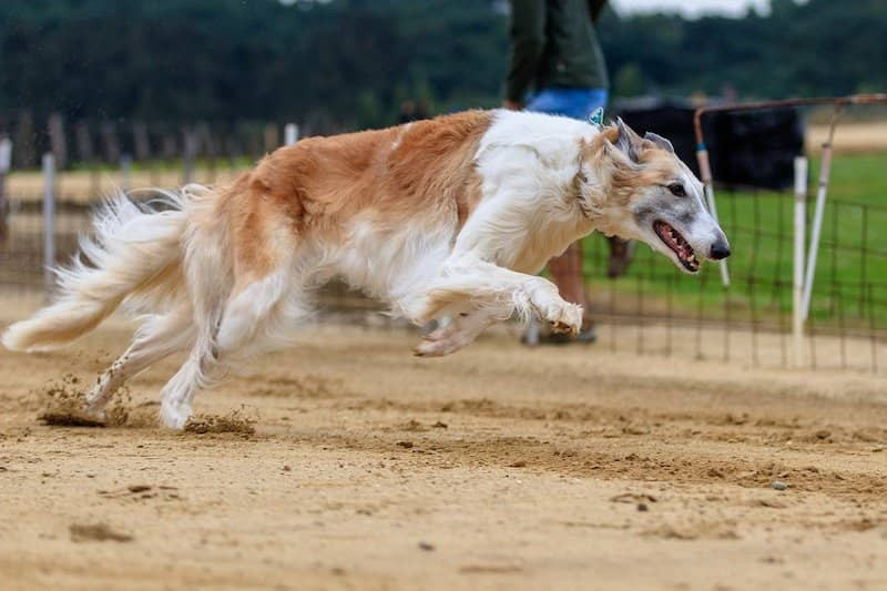 lure coursing trials sighthounds active dog sports