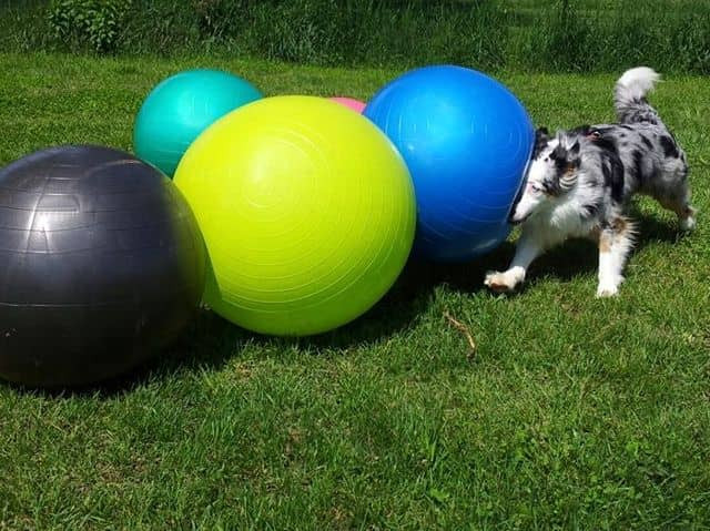 triebball ball herding dog sports