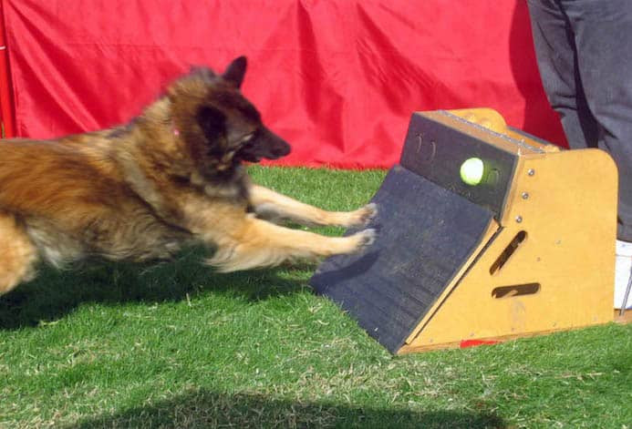 belgian shepherd flyball box active sports for dogs