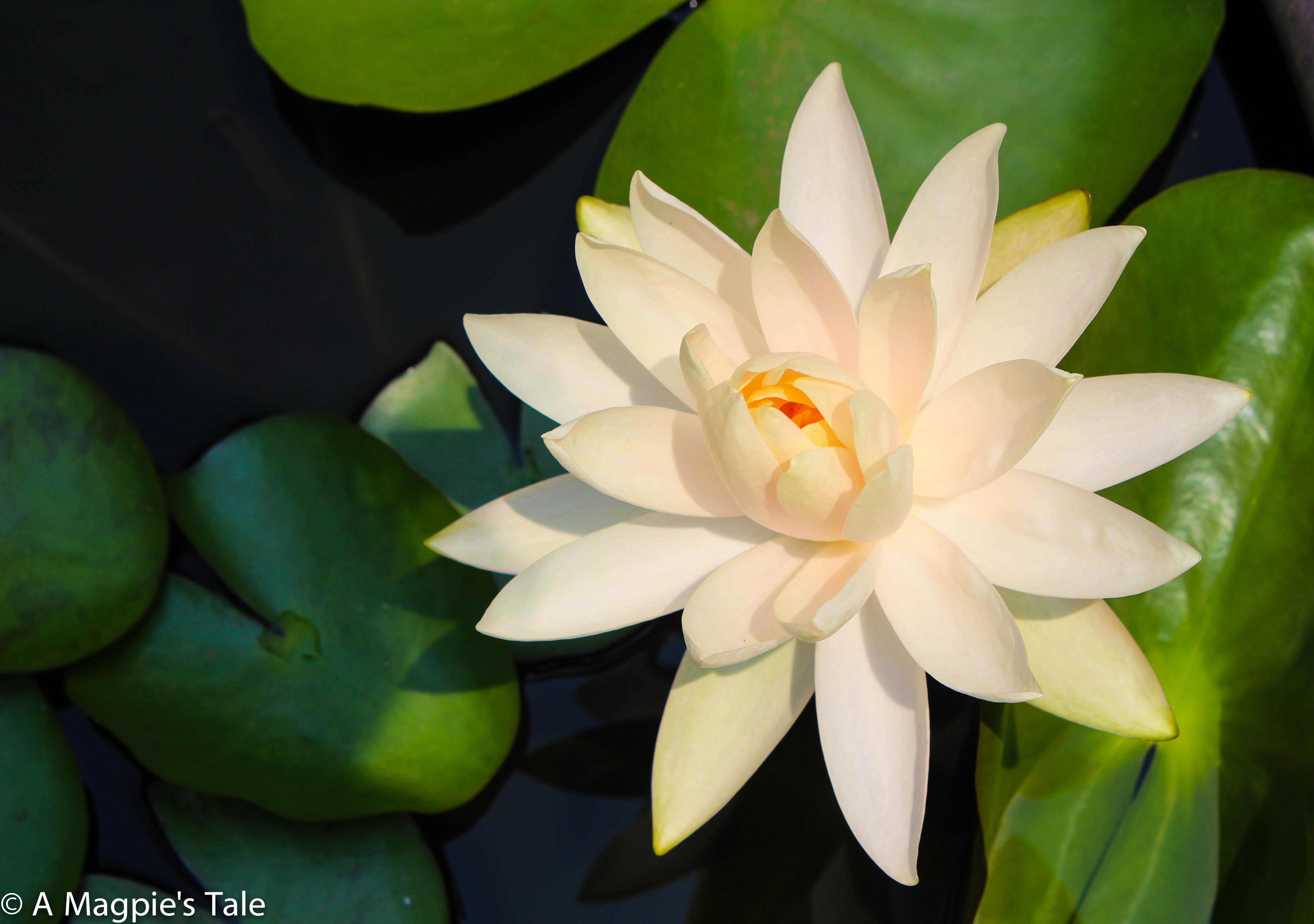 Andrew's Garden Lilly