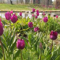 Tulpen aan vijver
