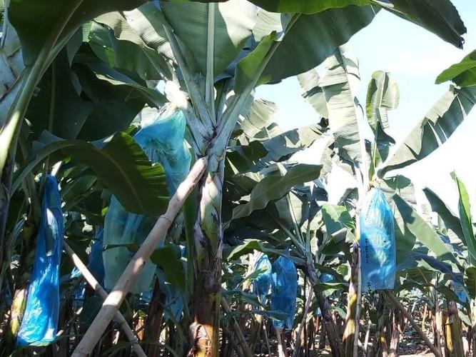 Bagatocorp plantation.jpg