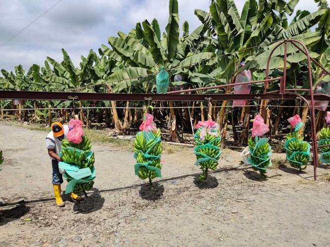 Bagatocorp banana bunches on plantation.