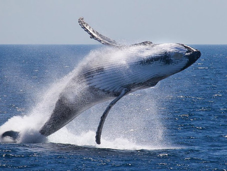Whale Watching in Cabo San Lucas - Go Deep Go