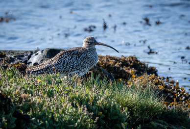 'Curlew' by Harry Graham