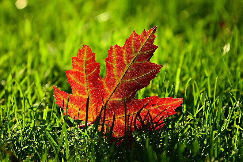 maple-leaf-3680684_1280.jpg