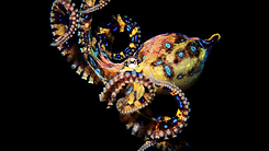 octopodes.png
