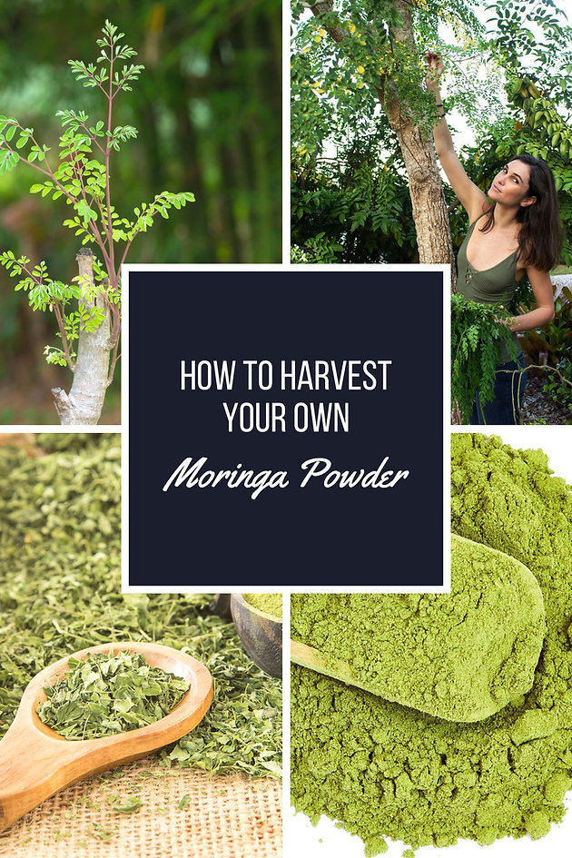 How To Harvest Your Own Moringa Powder