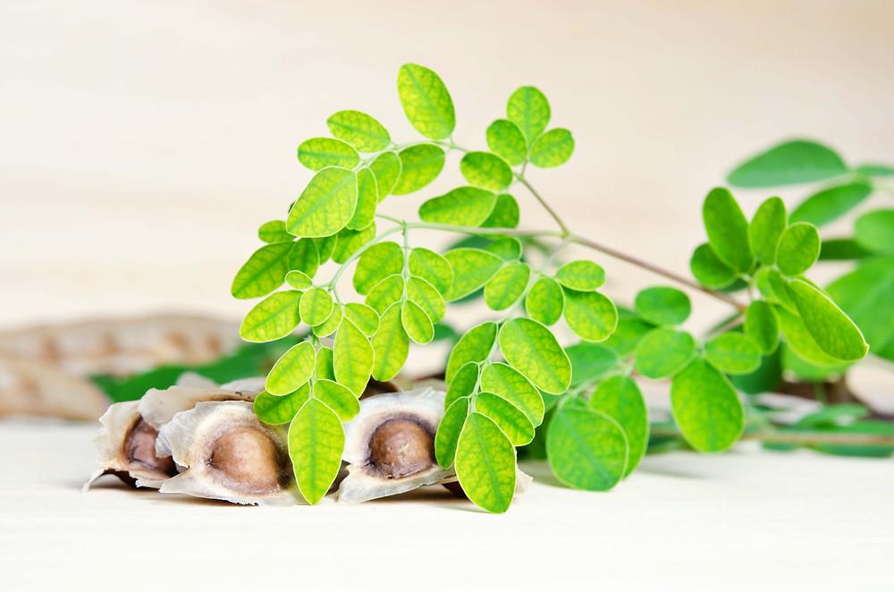 Moringa oleifera seeds and cuttings