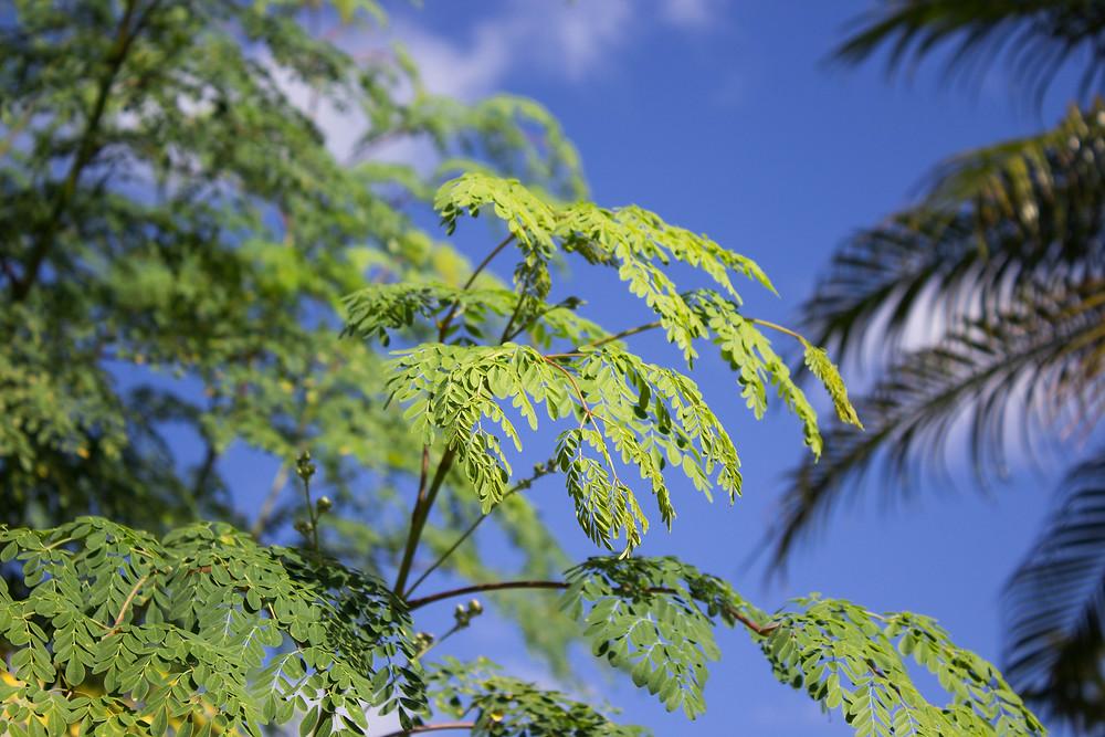 FERA Moringa Tree