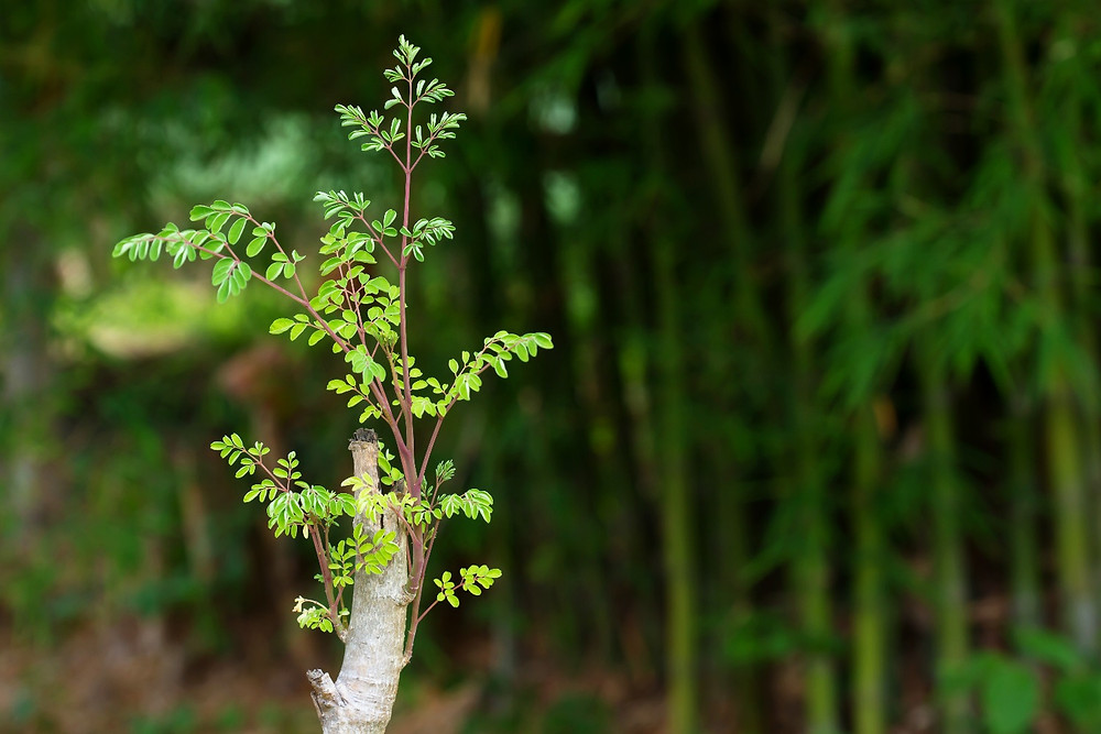 Moringa tree new growth from cutting