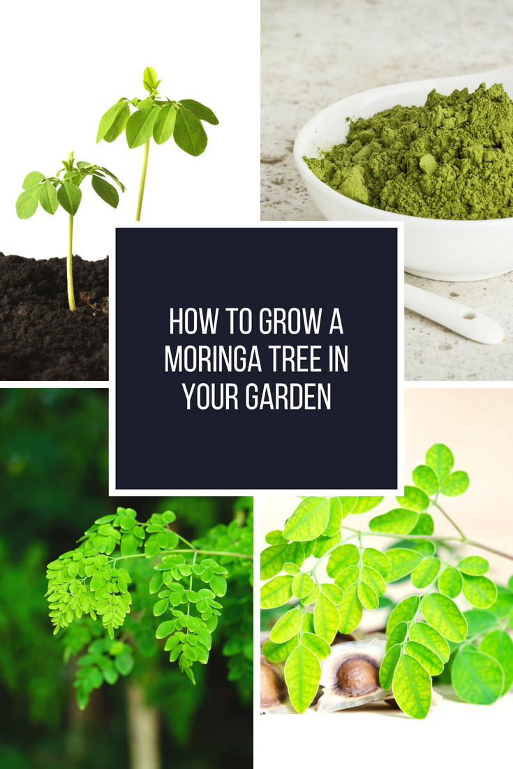 How to grow a Moringa tree in your garden