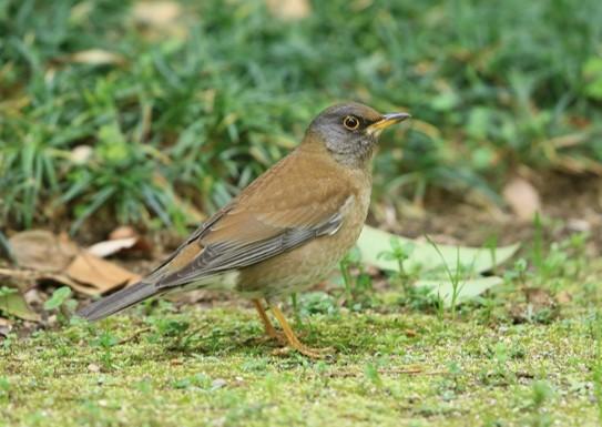 緑地内のシロハラ(冬鳥)