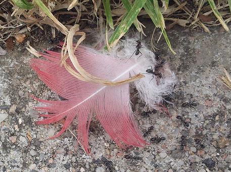 写真12.モモイロインコの羽根に群がるアリ.jpg