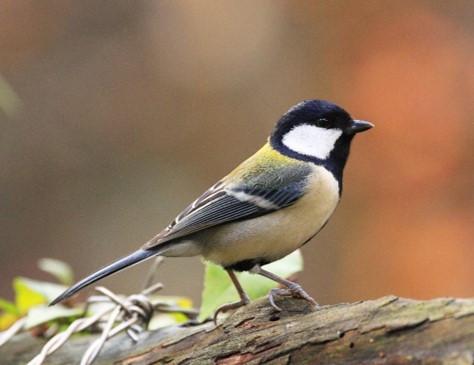 緑地を訪れるシジュウカラ(留鳥)