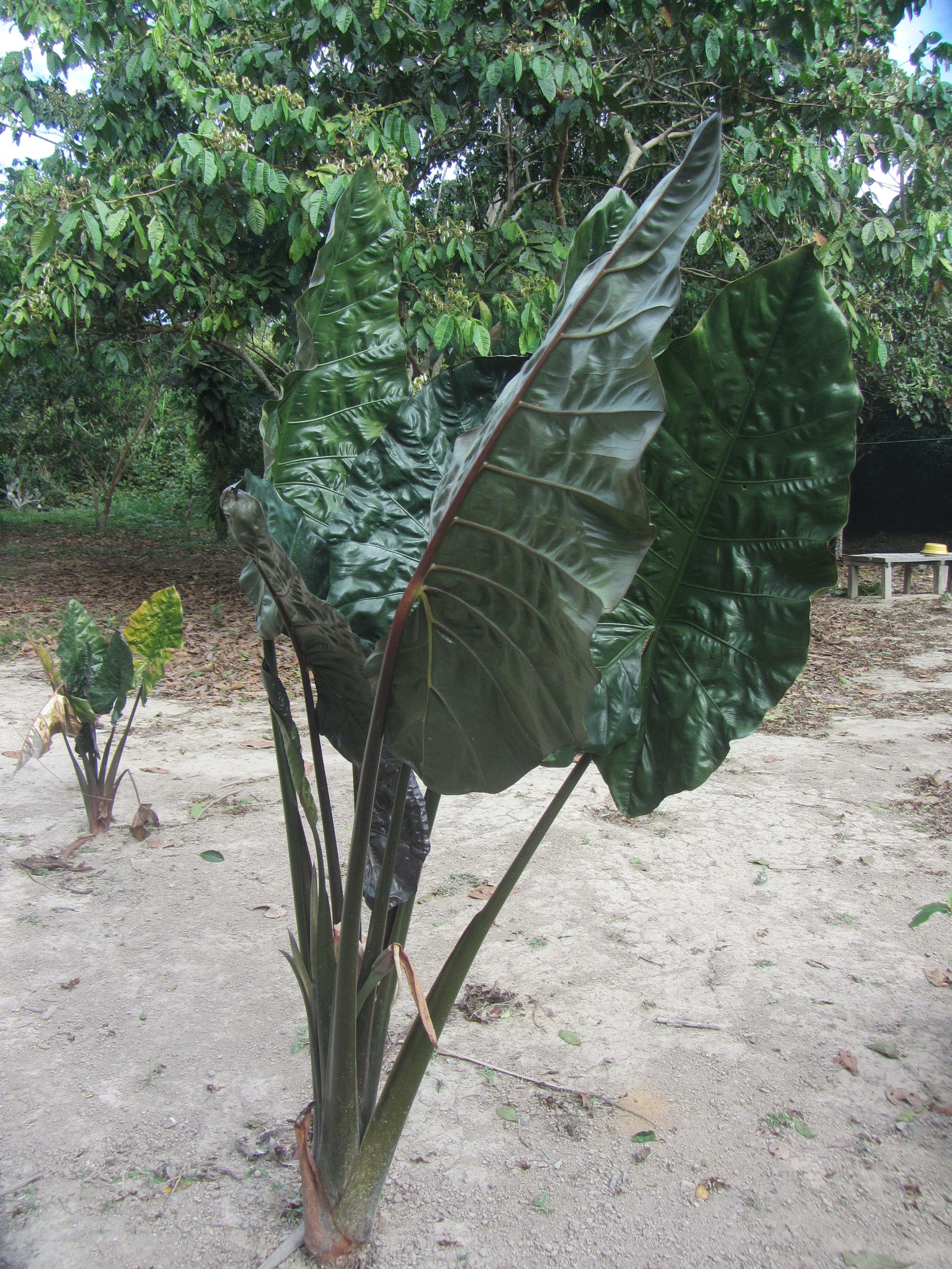 Patiquina