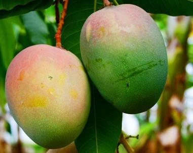 Il post del rientro: nostro e dei mango, per esempio