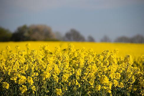 Romania-leads-EU-rapeseed-exporters.jpg