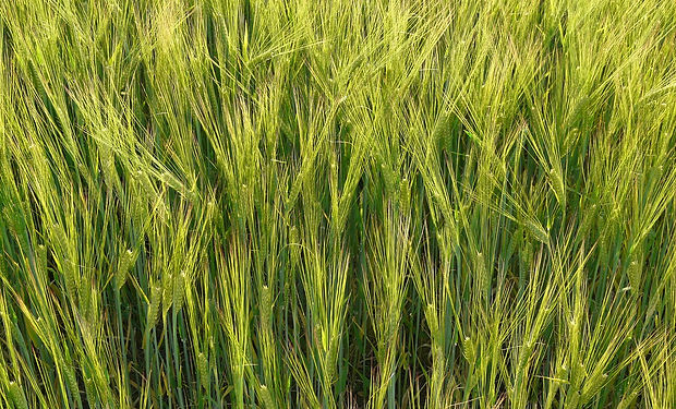 barley-field-8233_1280.jpg