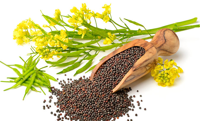 Rapeseeds-Canola-Seeds-at-low-price-with