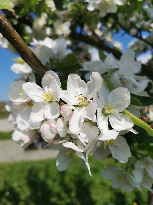 Cherrytree Flower